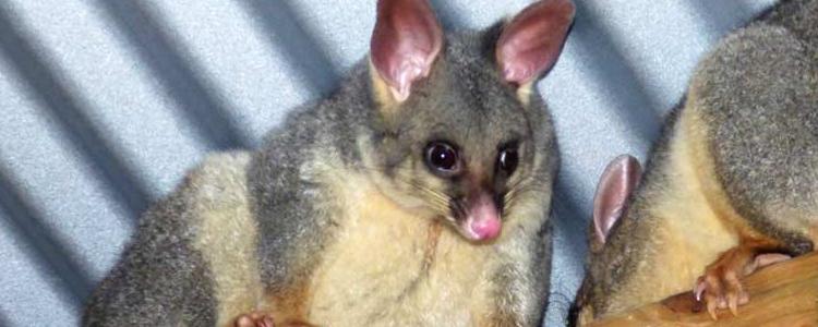 Possum Removal Cranbourne